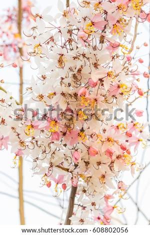 Plenty Cassia bakeriana Craib flower #608802056