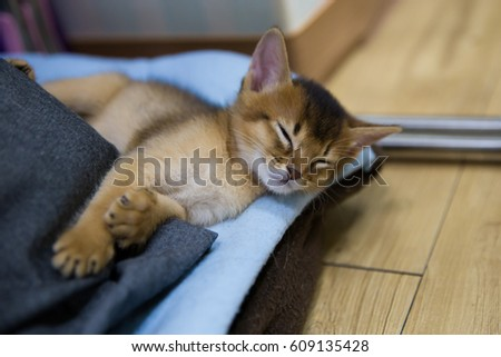 Abyssinian Rudy species / Sleeping baby cat Royalty-Free Stock Photo #609135428