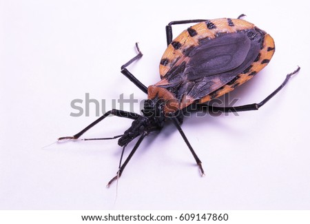 Young female chagas bug; travel risk