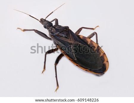 Kissing bug closeup; human health hazard