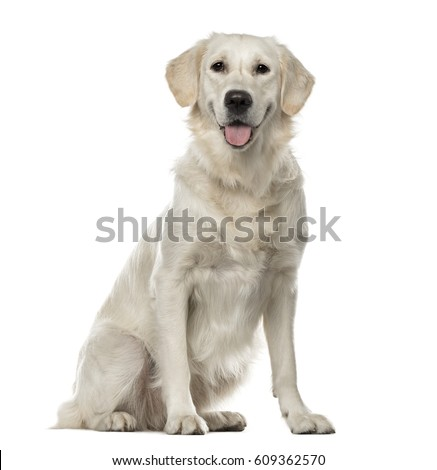 White Golden Retriever sitting, 19 months old , isolated on white #609362570