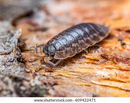 Woodlouse Isopod Macro #609422471