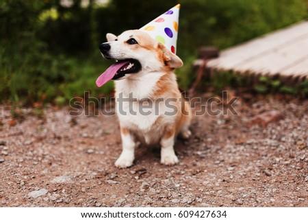 Corgi dog in a fancy cap smiling