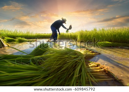 Agriculture farmer of Asia rice field worker concept.  Asian farmer working on rice field outdoor in Agricultural town of Asia.Worker in rural work in farm with sunset back ground #609845792