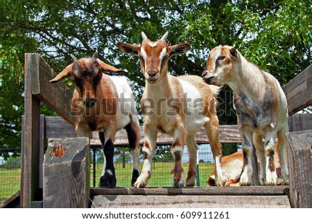 Three goat kids are standing on wooden board #609911261