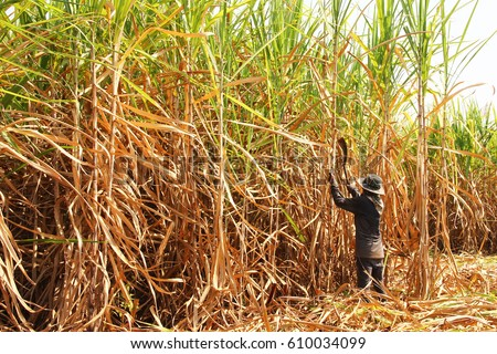 The worker is harvesting the sugarcane  #610034099