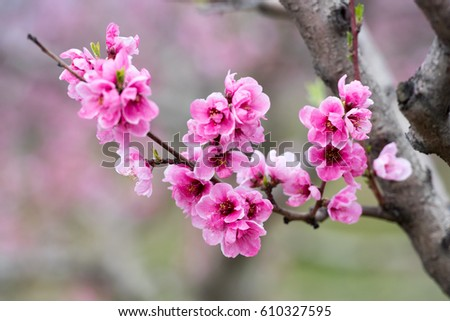 Peach blossom at spring on a field and orchard of peach trees during sunny day #610327595