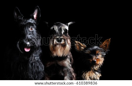 Low key portrait of a black scottish terrier, Schnauzer and a Yorkshire Terrier puppy #610389836