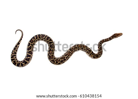 Burmese Python, Python molurus bivittatus, isolated on white background