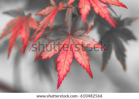 Red leaves in autumn season change #610482566