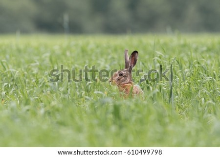 European brown hare (Lepus europaeus) #610499798