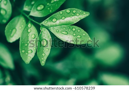water drops on leaves, natural green background