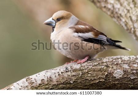 Female Hawfinch sitting on a branch #611007380