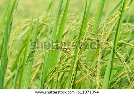 Rice field scenery in countryside of Thailand #611071094
