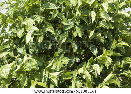 Mulberry plantation, silkworms feed on mulberry leaves. farmers  engaged in silkworm culture and reaping decent profits   #611085161