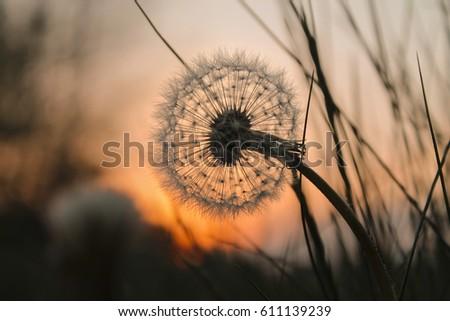 macro Dandelion seed's at sunset