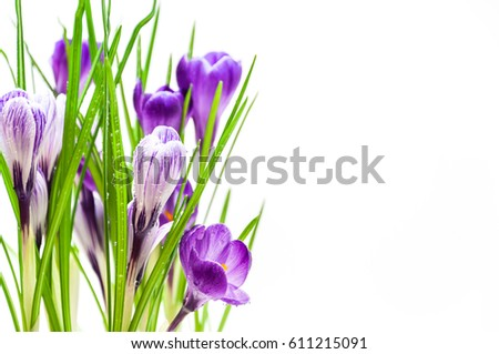 Crocuses on white background, spring flowers.  #611215091