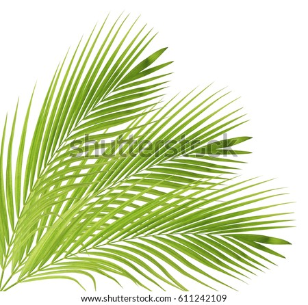 Green palm leaf isolated on white background #611242109