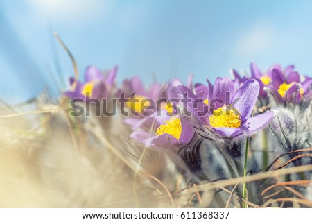 Beautiful spring violet flowers background. Eastern pasqueflower, prairie crocus, cutleaf anemone with water drops.Shallow depth of field. Toned. Copy space #611368337