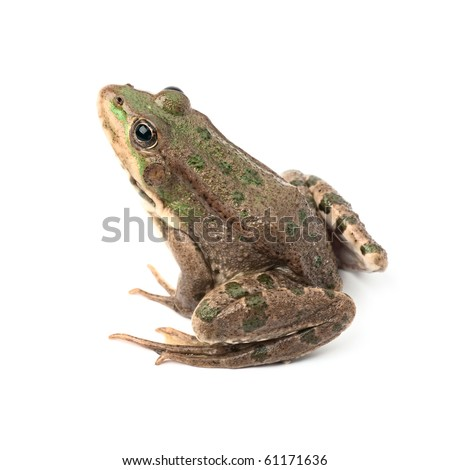 Green frog isolated on white background #61171636