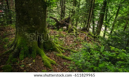Sullen landscape with a mossy tree with roots. Coniferous tree with needles. #611829965