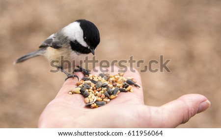 A Chickadee perches on a finger and selects seeds to eat from the palm of a hand. #611956064