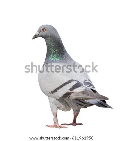 full body of gray pigeon bird isolate white background #611961950