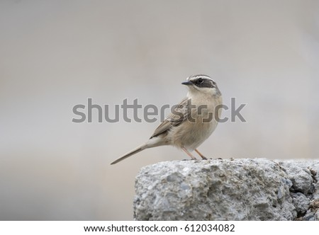 Brown accentor (Prunella fulvescens) #612034082