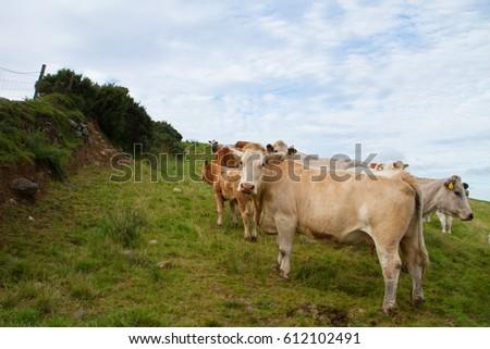 Irish cow #612102491