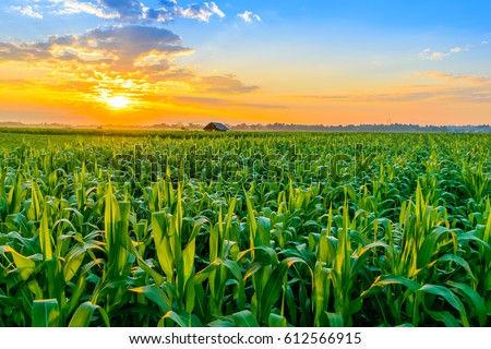Beautiful morning sunrise over the corn field Royalty-Free Stock Photo #612566915