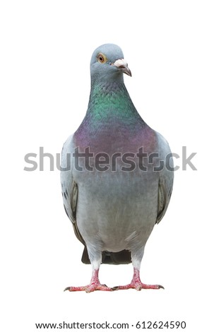 full body of sport racing pigeon bird looking eye contact to camera isolate white background #612624590