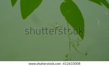 gerridae on green water #612633008