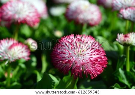 Red daisy #612659543