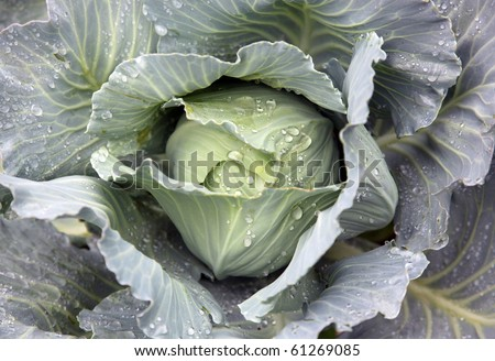 cabbage head growing on the vegetable bed #61269085