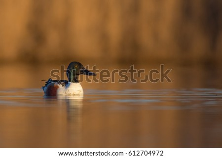 Northern shoveler - Anas clypeata - male at a small lake in spring, Vilnius County, Lithuania #612704972