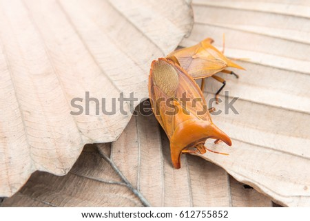 Stink bug breed on a brown leaf, copy space.