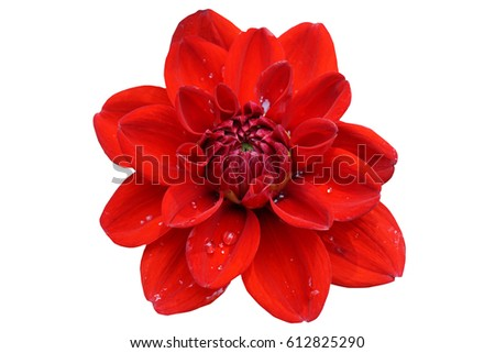 red rose isolated on white background with clipping path included #612825290