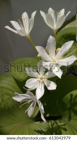 blur closeup white flower background #613042979