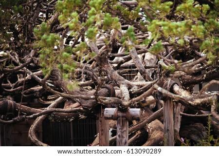 Bonzai tree in Japan #613090289