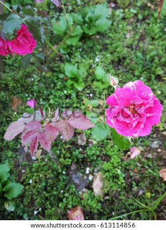 Dew on Fairy Rose #613114856