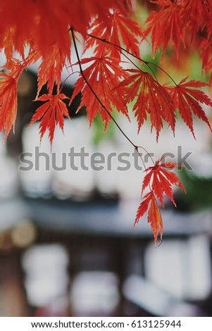 Red maple leaves in autumn. #613125944