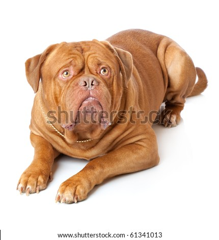 Dogue de Bordeaux (French mastiff). Isolated on white background #61341013
