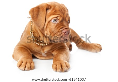 Puppy of Dogue de Bordeaux (French mastiff). Isolated on white background #61341037