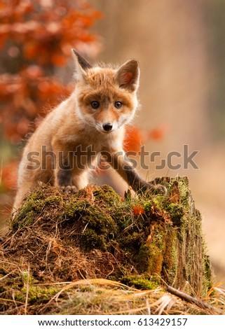 It was very nice fox #613429157