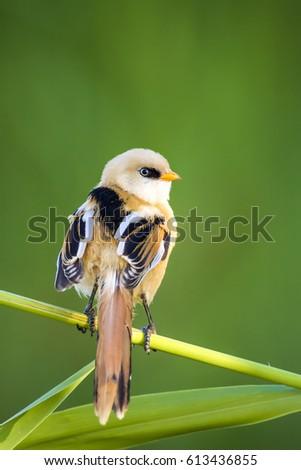 Cute bird. Green nature background. Bearded Reedling / Panurus biarmicus #613436855