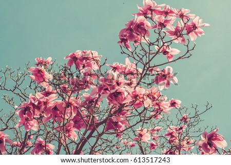 Toned photo of magnolia tree covered with beautiful big pink flowers in early spring on the blue sky background, England, toned