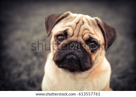 Portrait of Beautiful male Pug puppy dog siting in front of the grass background #613557761
