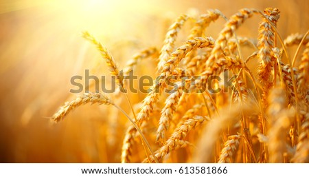 Wheat field. Ears of golden wheat close up. Beautiful Nature Sunset Landscape. Rural Scenery under Shining Sunlight. Background of ripening ears of meadow wheat field. Rich harvest Concept #613581866