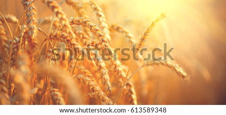 Wheat field. Ears of golden wheat close up. Beautiful Nature Sunset Landscape. Rural Scenery under Shining Sunlight. Background of ripening ears of meadow wheat field. Rich harvest Concept #613589348