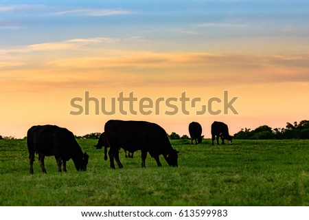 Black Angus cows grazing in silhouette against a sunset sky #613599983
